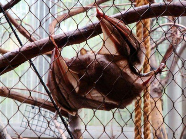 Morcego engaiolado
